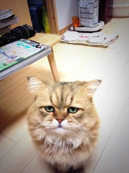 огорчённый кот Фу-чан
