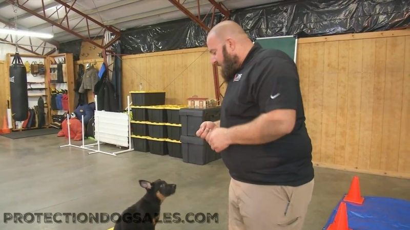 Working William The Agility Course @ 9 Wks Handler Master Trainer Aric Harris