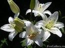 Белый цвет лилии говорит о чистоте и величественности, а тайный.