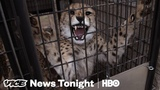 Not Enough Cheetahs Are Making Love. Urine May Be The Answer (HBO)