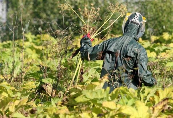 дачники внимание! руководство московской области будет компенсировать владельцам участков затраты на уничтожение ядовитого растения борщевика. за один гектар земли, освобожденной от сорняка,