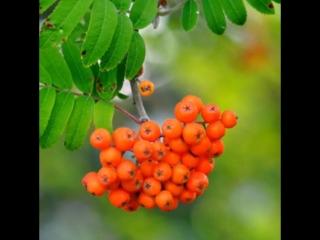 Чайный напиток из сушеных ягод Рябины красной