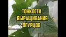 Выращивание огурцов в открытом грунте Все секреты в одном видео