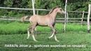 Продажа лошадей арабской породы конефермы Эквилайн, тел., WhatsApp 79883400208 (ЛАВАЛЬ 2018г.р.)