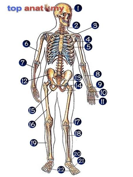 Скелет условно подразделяют на
