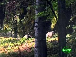 BBC Мир природы. Трансильвания. Опасные соседи