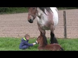 Belgian Draft Horses breeding mare,foal,little boy and young girl