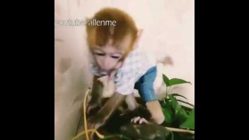 The little monkey succeeded in pulling the flower down。