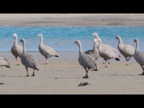 Cape Barren Geese, east coast of Tasmania. Australia.