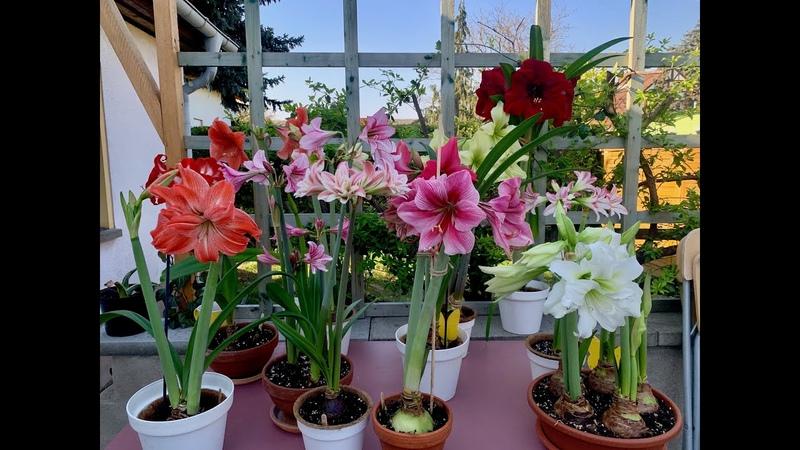 Amaryllis in bloom (Hippeastrum tour)