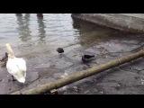 Ворона убивает голубя (Crow kills pigeon)