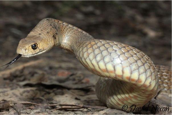 Сетчатая коричневая змея (Pseudonaja textilis)