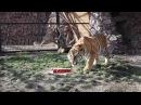 Торт для тигра