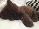 Женщина взяла домой крошечного больного котенка. год спустя он весит почти Как его владелец…