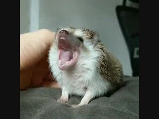 Если вы давно хотели узнать, как зевают ежики, то вот