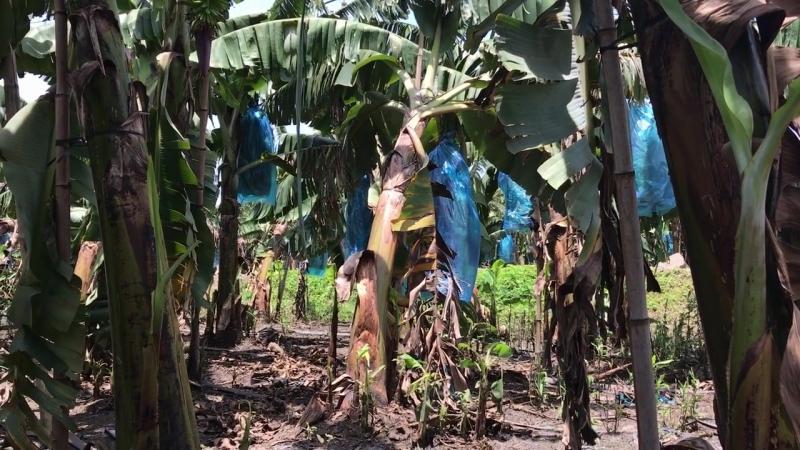 Банановая плантация на Хайнане