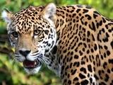 The roar of the jaguar, jaguar screaming, growling jaguar Рев ягуара, крик ягуара, рычание ягуара