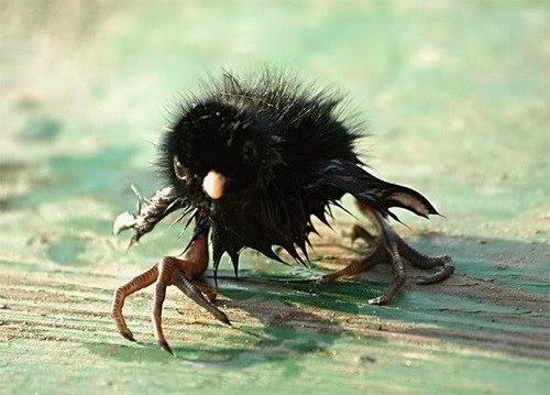 А эта занимательная чупакабра на самом деле всего лишь птенец черного коршуна.