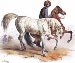 Арабская чистокровная