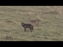 Black Coyote Double Warning Coyotes die in this clip