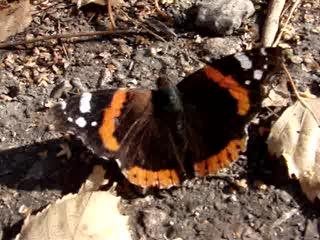 Перелётные бабочки. Адмирал.