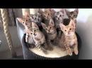 Синхронные коты. Котята крутят головой в такт музыке! Kittens twist head to the music