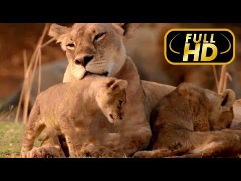 Африканские Охотники Кровные Узы Епизод 3 FULL HD Док фильм Amazing Animals TV