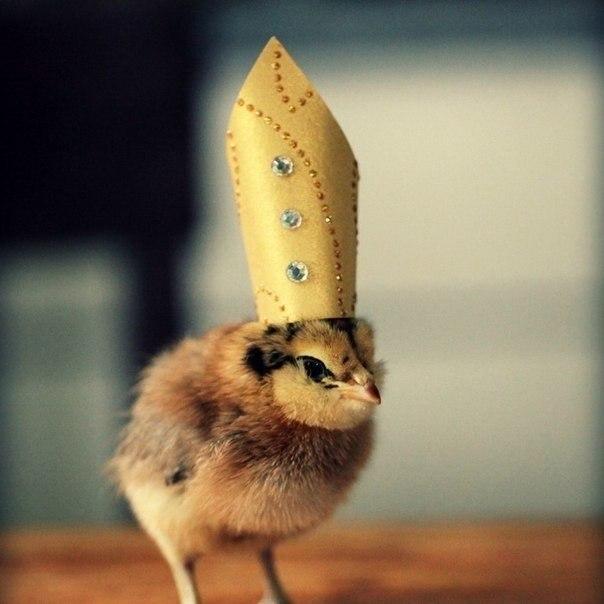 Картинки по запросу «Цыплята в шляпах» — один из тех фотопроектов, которые заставят улыбнуться кого угодно. Художница из Мэна Джули Персонс (Julie Persons) создала эту серию просто, потому что ей нравится надевать головные уборы на птенцов.