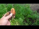 Круглая морковка РОНДО, описание, опыт выращивания.