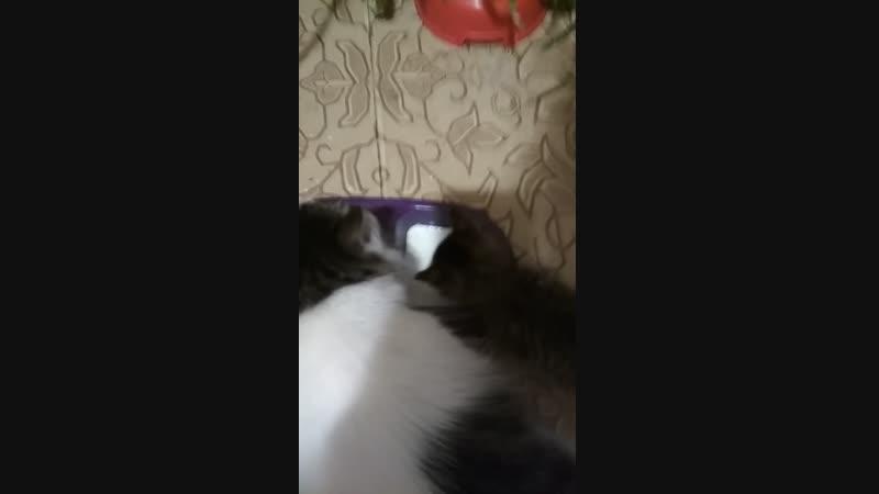 Понка учится лакать молоко из чашки)