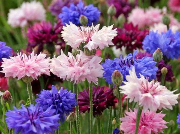 Выращиваем васильки в саду  Растение отличается своей неприхотливостью к...
