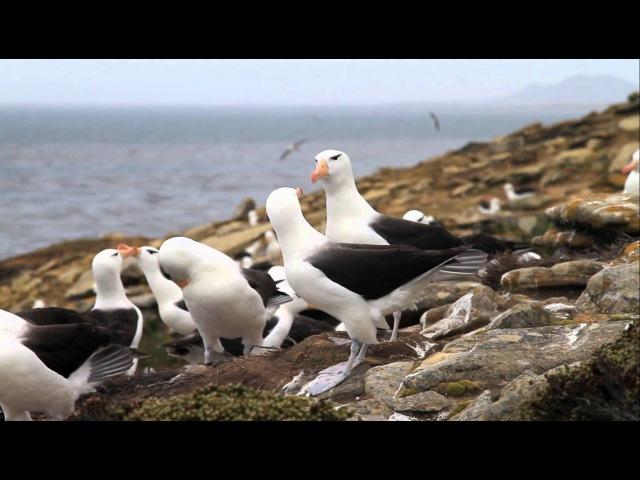 Black-browed Albatross Чернобровый альбатрос Diomedea melanophris Thalassarche melanophris