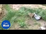 Leopard goes BEZERK and mauls people in an Indian village