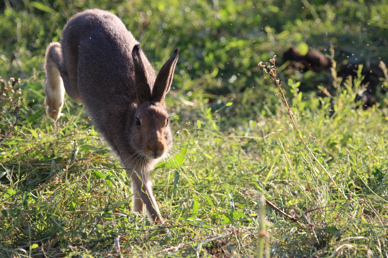 Заяц в прыжке картинка для детей