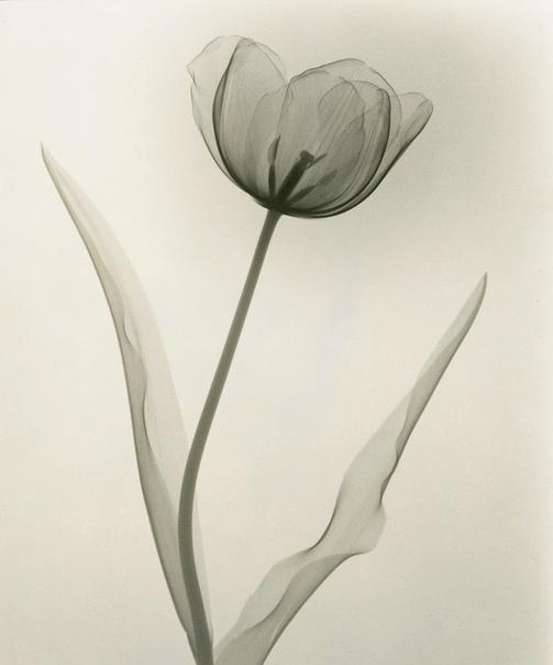 Серия рентген снимков цветов, 1930-е.