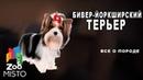 Бивер-йоркширский терьер - Все о породе собаки | Собака породы бивер-йоркширский терьер