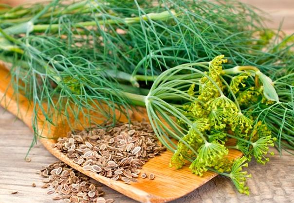 5 способов, как сделать укроп сушеным. Советы по сбору и хранению, а также другие практические рекомендации Укроп одна из самых распространенных трав, используемых в кулинарии. Свои корни зелень