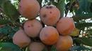 Хурма сортовая Никитская бордовая Урожай после 5 лет ожидания Ветки ломятся