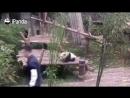 Дитё панды