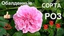 ОБАЛДЕННЫЕ сорта роз мой розарий