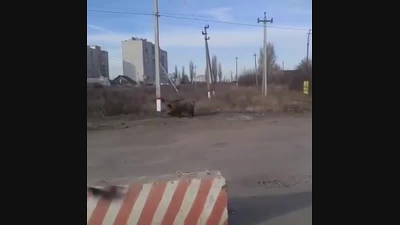 Прогулка кабана в Новой Усмани Воронежской области