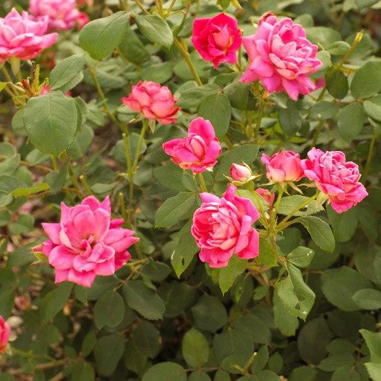 Многолетники для цветников - Розы