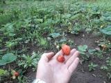 Я и мой огород, так же почему не советую вырывать траву и посыпать фекалием!!!