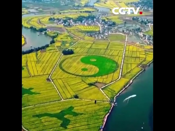 Цветущие поля рапса в городе Чунцин | CCTV Русский