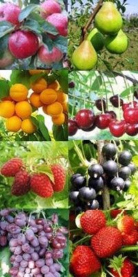при неприхотливом уходе дают гарантированный урожайэтим летом уже на веточках были ягоды