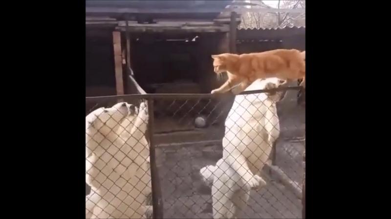 Отважный кот...
