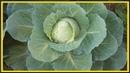 СУПЕР способ выращивания капусты от рассады до сбора урожая