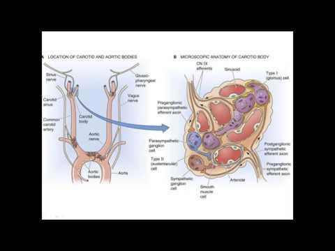 Гуморальная регуляция дыхания. Периферические и центральные хеморецепторы.