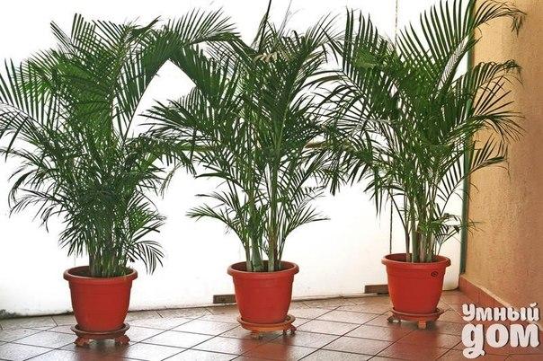 Как спасти пальму, если желтеют листья? Комнатные растения украшают дом и создают в нем здоровую атмосферу. Если у растения начали желтеть листья, то это является явным признаком того, что с ним что-то не в порядке. Причем происходить это может из-за влияния различных факторов. Правильное определение причины пожелтения позволит вовремя принять меры и понять, как спасти пальму. Основными причинами пожелтения листьев являются проблемы с корневой системой или нарушение режима полива. Если…