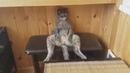 Я РЖАЛ ПОЛЧАСА - Смешные коты и другие Животные до слез, Cute Cats 111